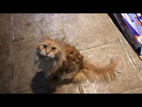 Vocal Maine Coon
