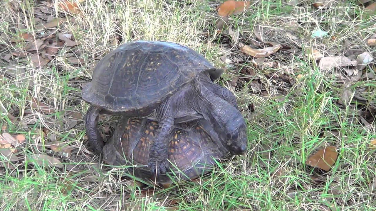 mating turtles 80 minutes gulf coast box turtles gcbt001 youtube