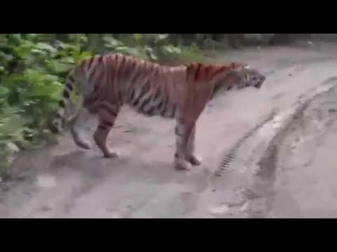 Very arrogant wild Siberian tiger