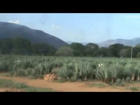 Sisal Plantation Between Moshi and Arusha Tanzania January 2015