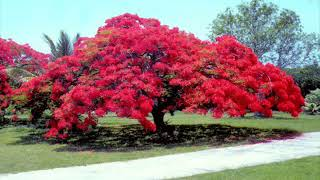 Lagu Kenangan Laily Dimyati   Bunga Flamboyant