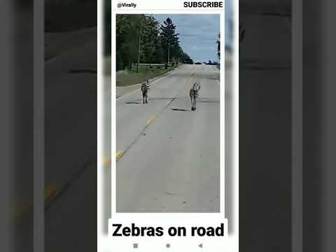Zebras-running-wild-down-Wisconsin-road