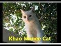 Nossos gatos Khao Manee Cat