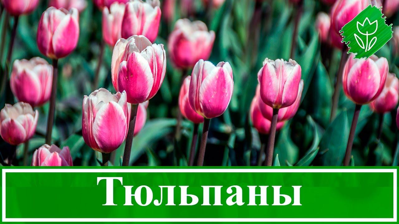 Выращивание тюльпанов – посадка и уход в саду