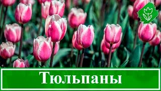 видео Тюльпаны -  посадка, выращивание, уход