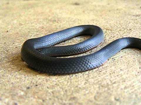 Blue belly black snake