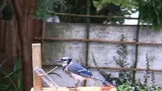 Blue Jay Feeder 1