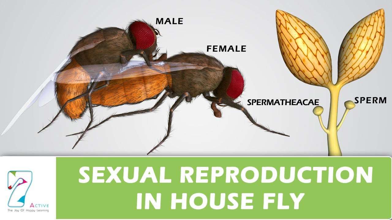 House Fly Anatomy Diagram Reese Trailer Plug Wiring Sexual Reproduction In Youtube