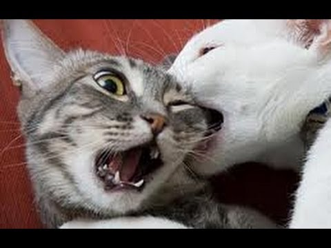 How To Stop Cats Hissing At Each Other