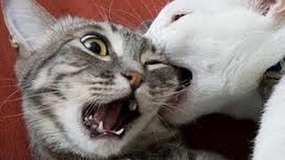 Cat fight  , cats fighting over territory