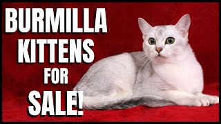 Burmilla Kittens for Sale!