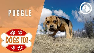 Dogs 101 - PUGGLE - Top Dog Facts about the PUGGLE | DOG BREEDS 🐶 Brooklyn's Corner