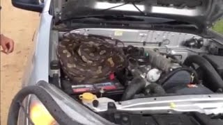 Giant python discovered under truck's hood