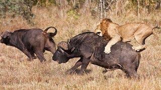 Grandes documentales - Viaje hacia el peligro: Búfalo contra león