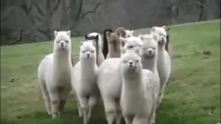 Прикольные Животные видео, Смешные животные, лучшие приколы, смешные забавные видео, веселые моменты