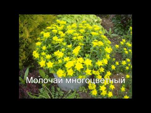 Многолетние цветы для клумбы. Названия + фото
