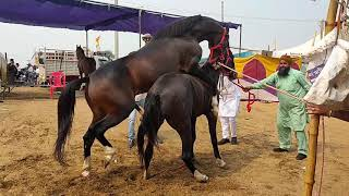 New Horse Mating Video in Pushkar Fair 2019 || Stallion Gabbar sired by Kala kanta