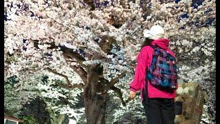 日本一周女ひとり旅277日目。岩手県奥州市の水沢公園で夜桜Live