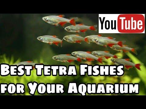 Types Of Tetra Fish With Pictures | Best Tetra Fish For Aquarium
