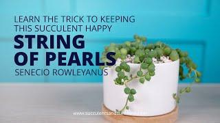 Скачать How To Care For Senecio Rowleyanus String Of Pearls