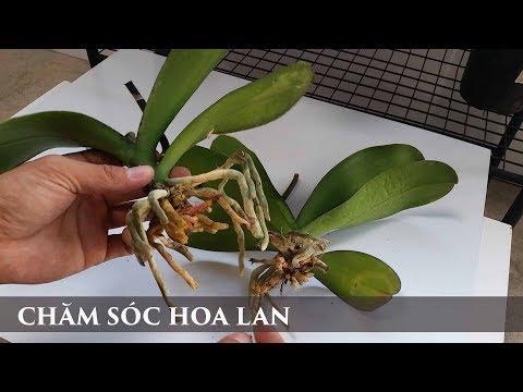 CHĂM SÓC HOA LAN