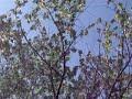 DSCF2542ハンカチの木20090425横浜こども植物園 の動画、YouTube動画。