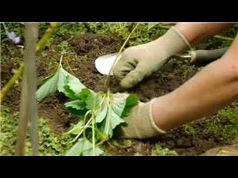 Transplanting & Maintaining Garden Perennials : How to Transplant & Care for Strawberries