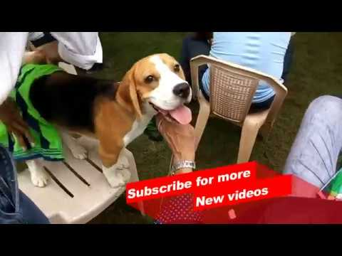 Wow ! Most Amazing dog breeds worldwide | Beagle Dog |