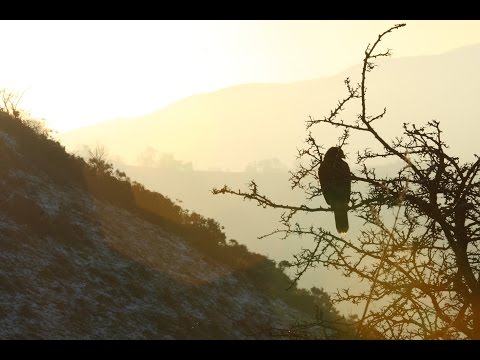Falconry 2 | Hunting with Goshawks, Peregrine Falcons and Harris