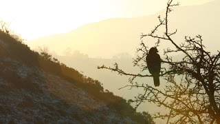Hunting with goshawks, peregrine falcons and Harris