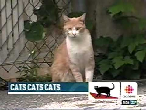 CBC Television Montreal on Feral Cats.avi