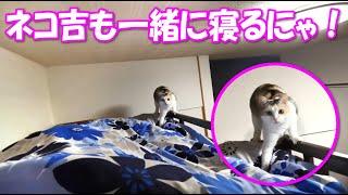 一緒に寝てくれるネコ吉が可愛くて仕方ありません(*'ω'*) thumbnail