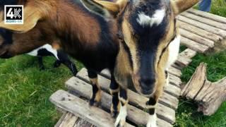 La ferme du Botrai (Saint Trimoël) - Les animaux viennent vous voir [4K]