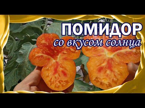 Почему я люблю помидоры цвета солнца? Золотые томаты моего огорода!