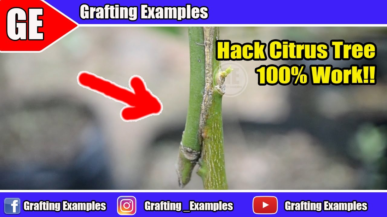 Gardening Hack To Combining Different Citrus Tree
