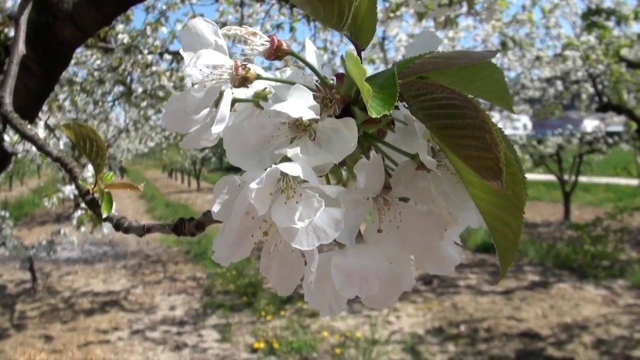 Cerisiers De La Fleur Au Fruit Youtube