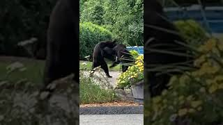 Bears Fight Dramatically on Streets - 1062076