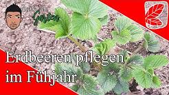 Erdbeeren pflegen im März/April