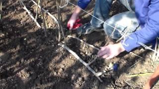 Инжир обрезка(Обрезка куста инжира, кордонная формировка. Комментируйте видео, ставьте лайки, дизлайки., 2013-10-12T15:43:07.000Z)