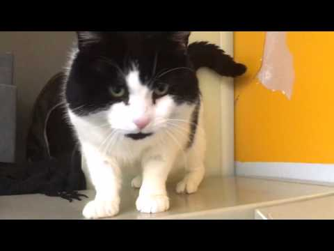 Victor - super friendly cuddly black and white cat