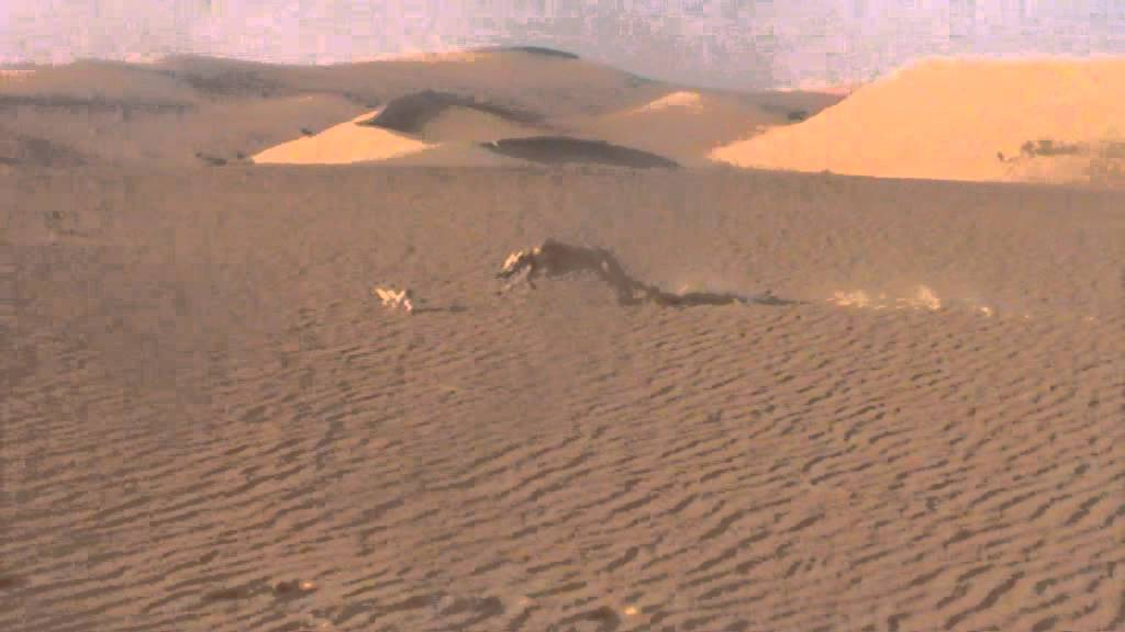 Desert hunting by saluki (6) - YouTube