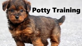 How To Potty Train A Terri-Poo Puppy - TerriPoo House Training - Housebreaking Terri Poo Puppies