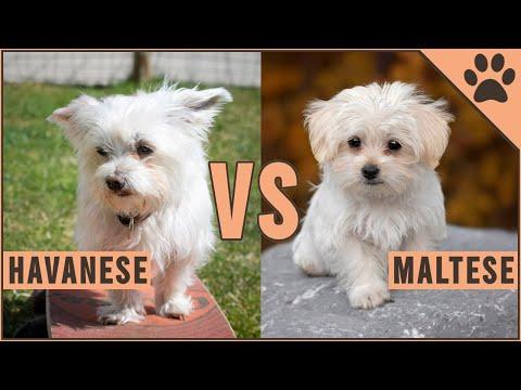 Havanese vs Maltese  Dog Breed Comparison