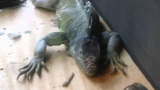 Outdoor Iguana Cage