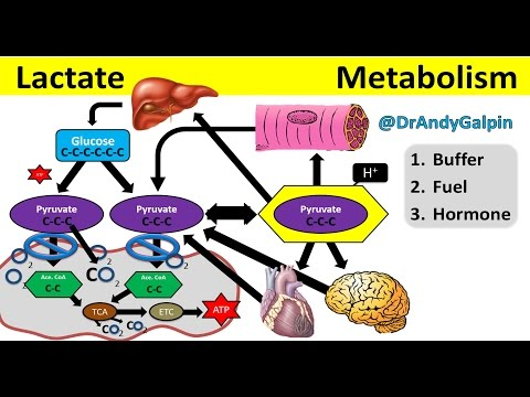 What Lactate is & What it ACTUALLY does: 5 Min Phys