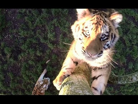 Cute tiger cubs show off tree-climbing skills