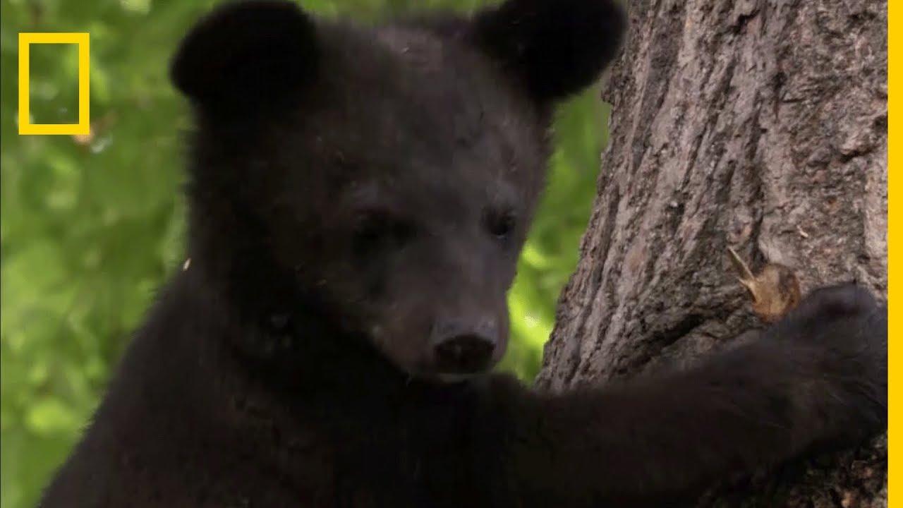 Les ours à collier