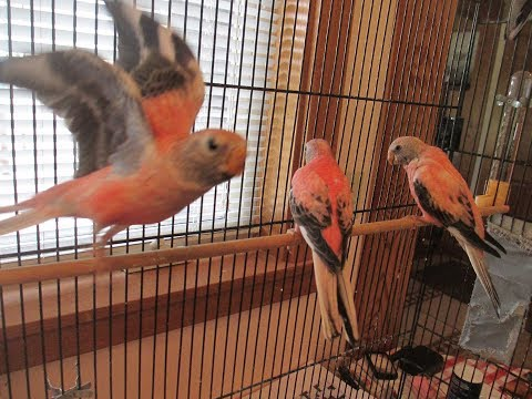 Bourke Parakeet Babies on 6/20/2017, Available for Sale
