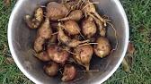 Имейте в виду, что в отличие от корней, остальные части растения очень ядовиты. Семена культуры содержат токсин ротенон, использующийся как яд.