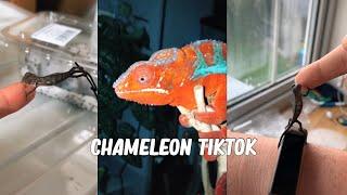 Chameleon TikTok Compilation